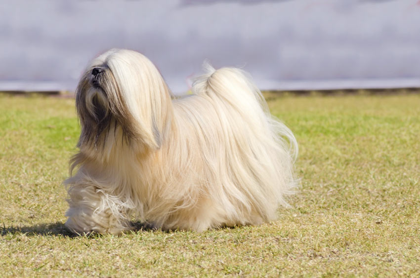A beautifully groomed Lhasa Apso with a fabulous white coat