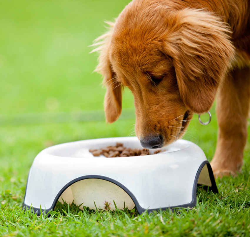 A beautifully little puppy eating a bowl of dry food in the garden