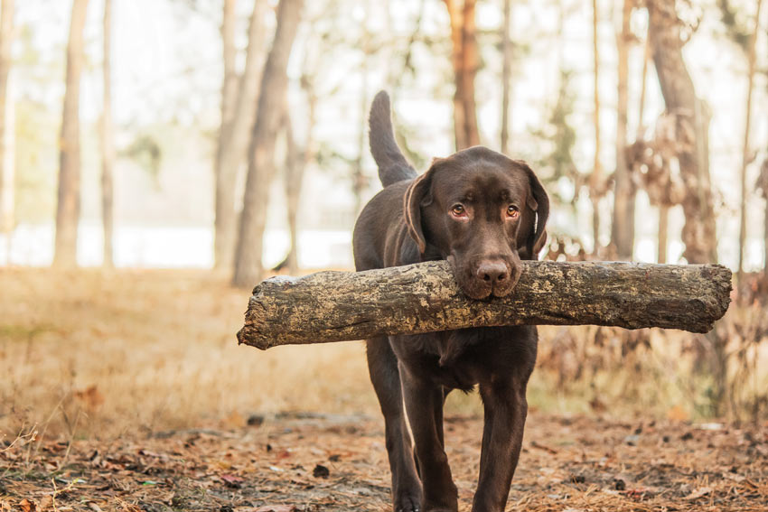 A chocolate Lab carrying a stick