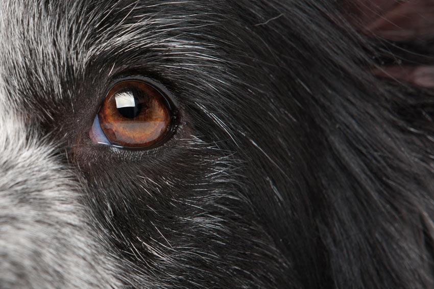 A close up of a beautiful healthy eye of a Collie