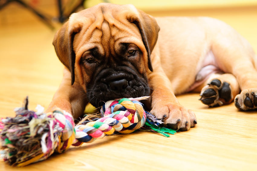 A cute Bullmastiff puppy playing with its toys