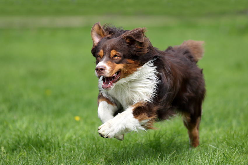 A dog playing fetch chasing after its toy