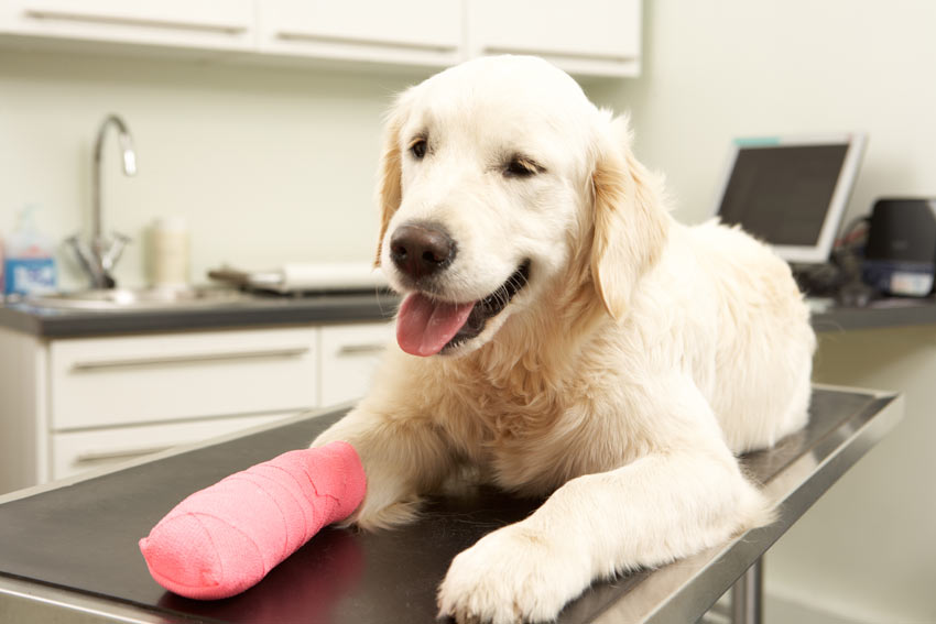 A dog recovering after having a cast put on its leg