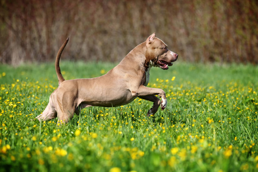 A dog running around the open fields using its incredible sense of smell