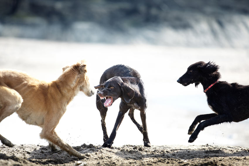 A dog snarling at two other dogs on the beach