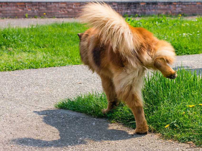 A dog urinating on the grass leaving its scent for other dogs