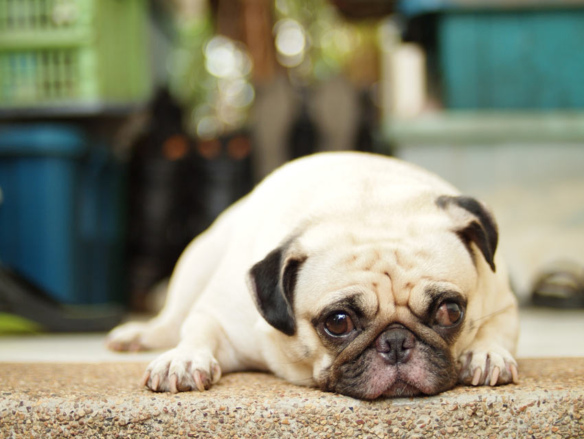 A guilty looking Pug lying down on the kitchen floor