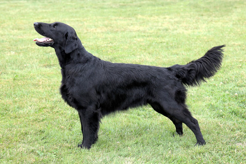 A healthy Flat Coated Retriever with a clear abdominal tuck