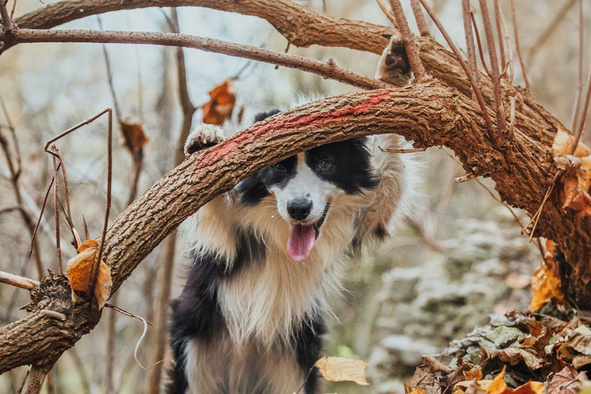 A healthy adult Border Collie on an adventure in the woods