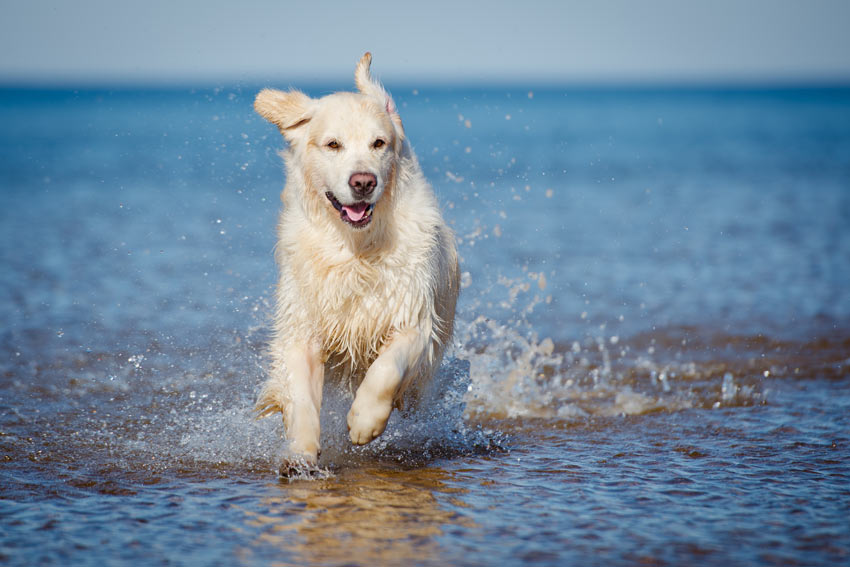 A healthy and happy Golden Retriever splashing around in the water