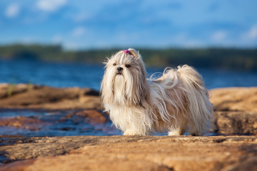 A hypoallergenic Shih Tzu with an incredible long white coat and short legs