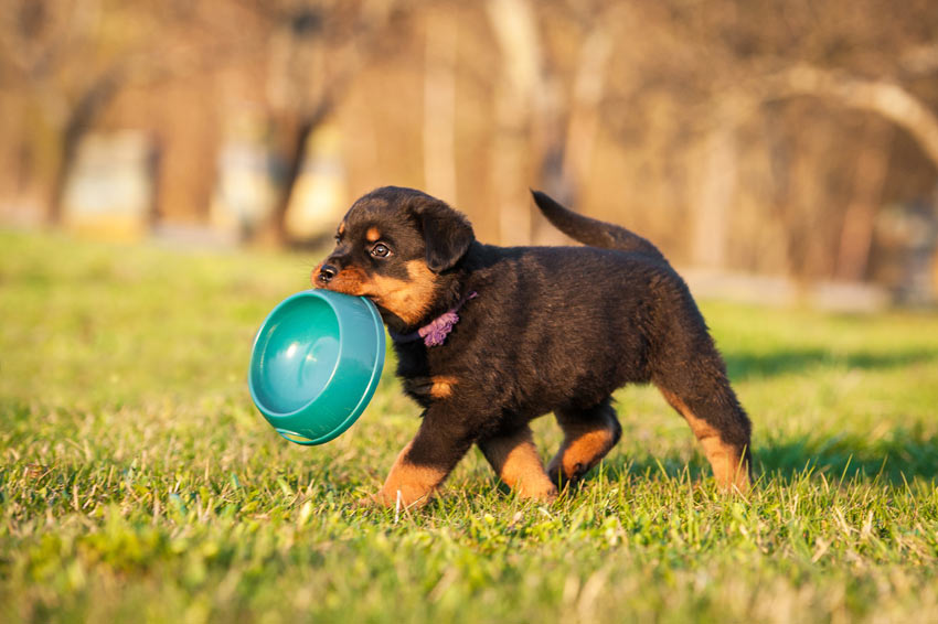 A little puppy carrying around its food bowl