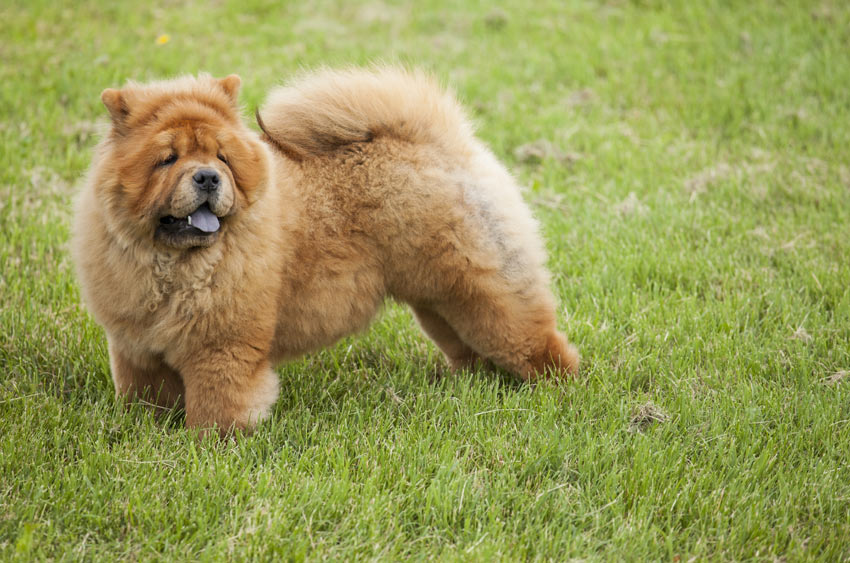 A lovely little Chow Chow Utility Dog