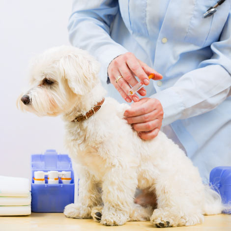 A maltese pup getting its vaccinations