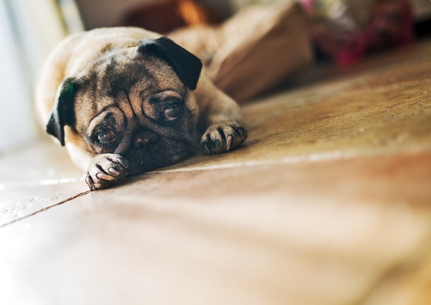 A pug lying on the floor indoors waiting for its owner to return