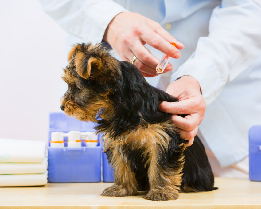 A puppy getting its first injection