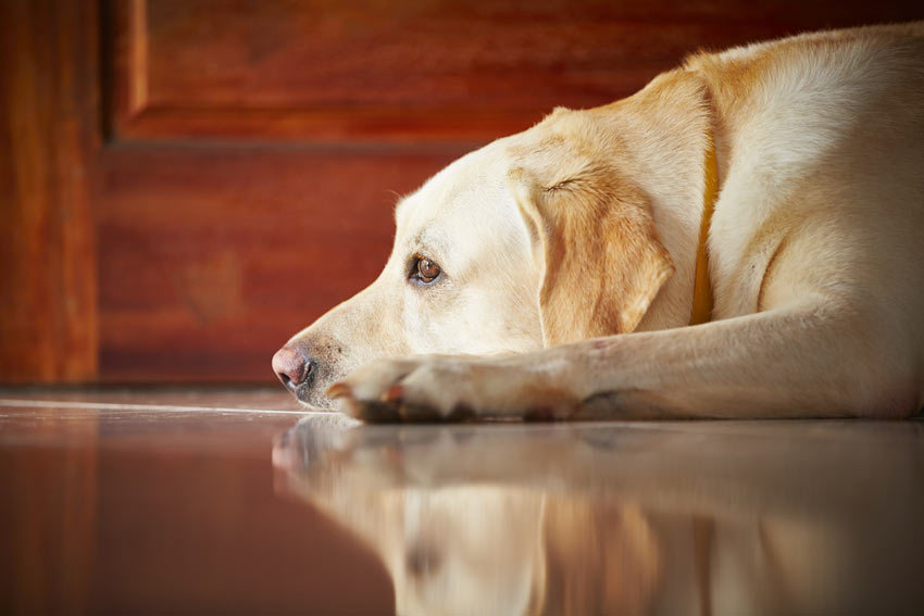 A very upset Labrador that has been left at home alone all day