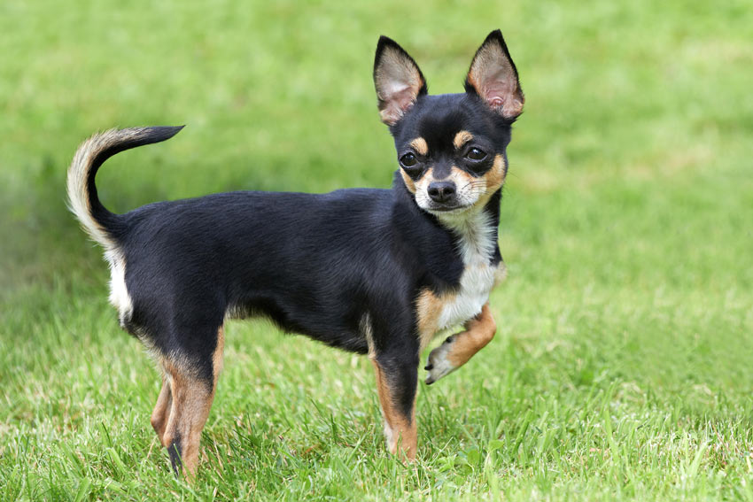 A wonderful little Chihuahua with great big ears