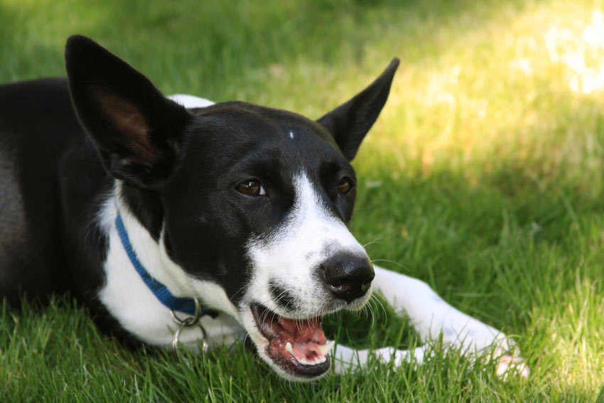 A wonderful young black and white dog who has been chewing its paws