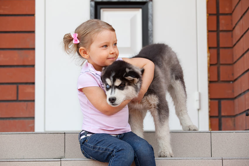 A young girl with a Siberian Husky puppy