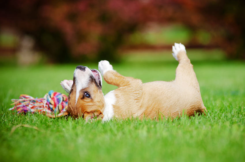 A young terrier rolling on its toys in the garden outside