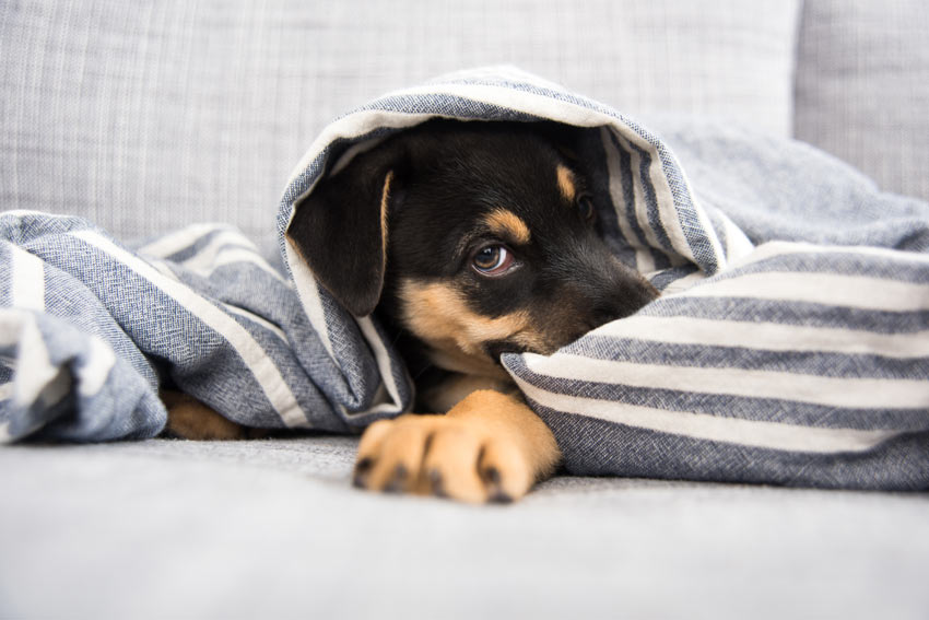 An adorable little crossbreed puppy laying down in its bed