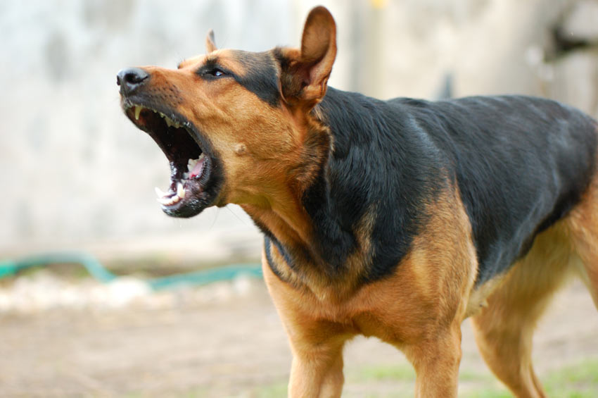 An agressive dog will bite in defence when challenged