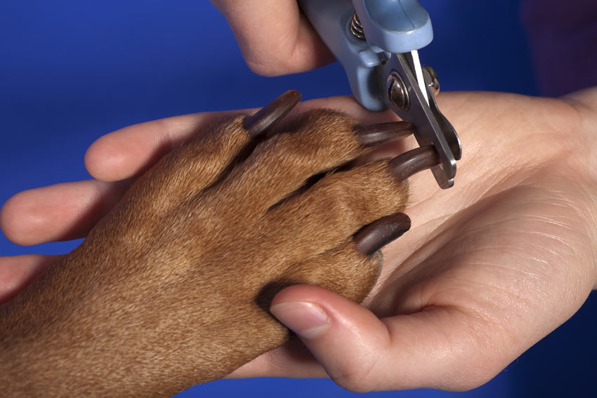 How to trim a dogs nails using a pair of dog nail pliers