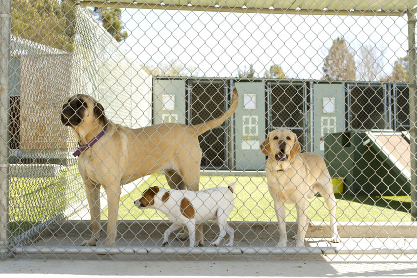 Three dogs at a kennel for the weekend