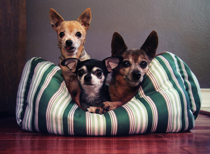 Three dogs curled up together in one nice warm bed