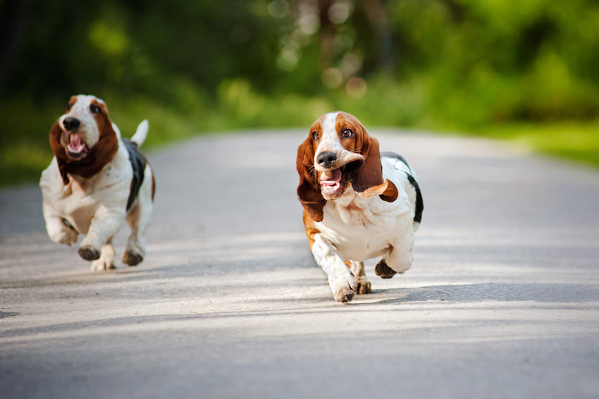Two Basset Hounds Running down a road