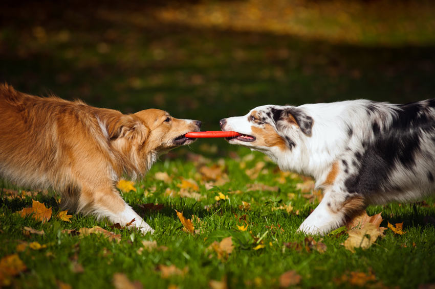 Two Dogs Playing Tug Of War