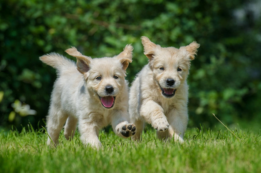 Two Golden Retriever puppies playing in the garden
