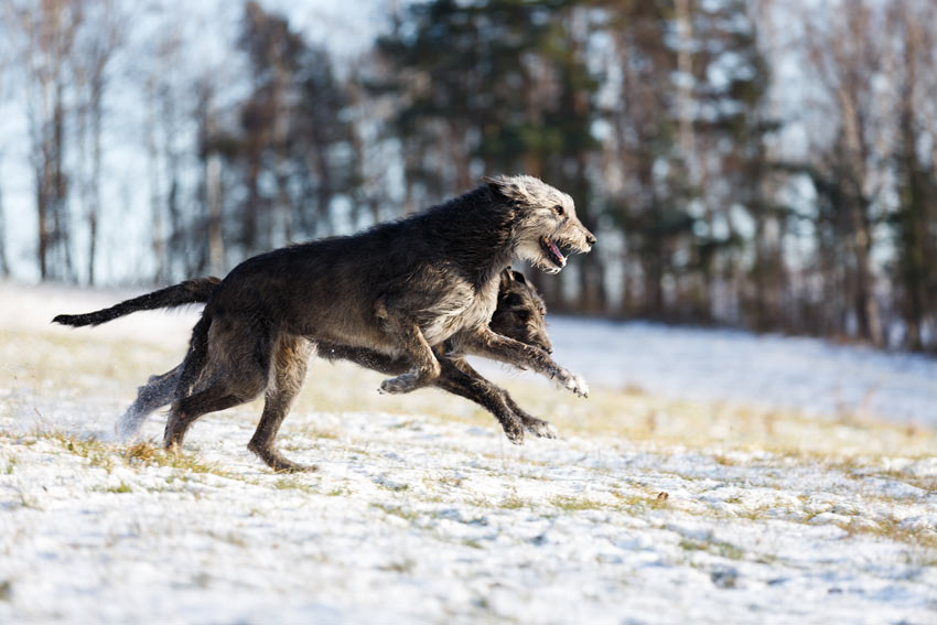 Two Irish Wolfhounds bouncing through the snow