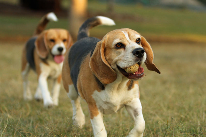 Two young Beagles playing with a tennis ball