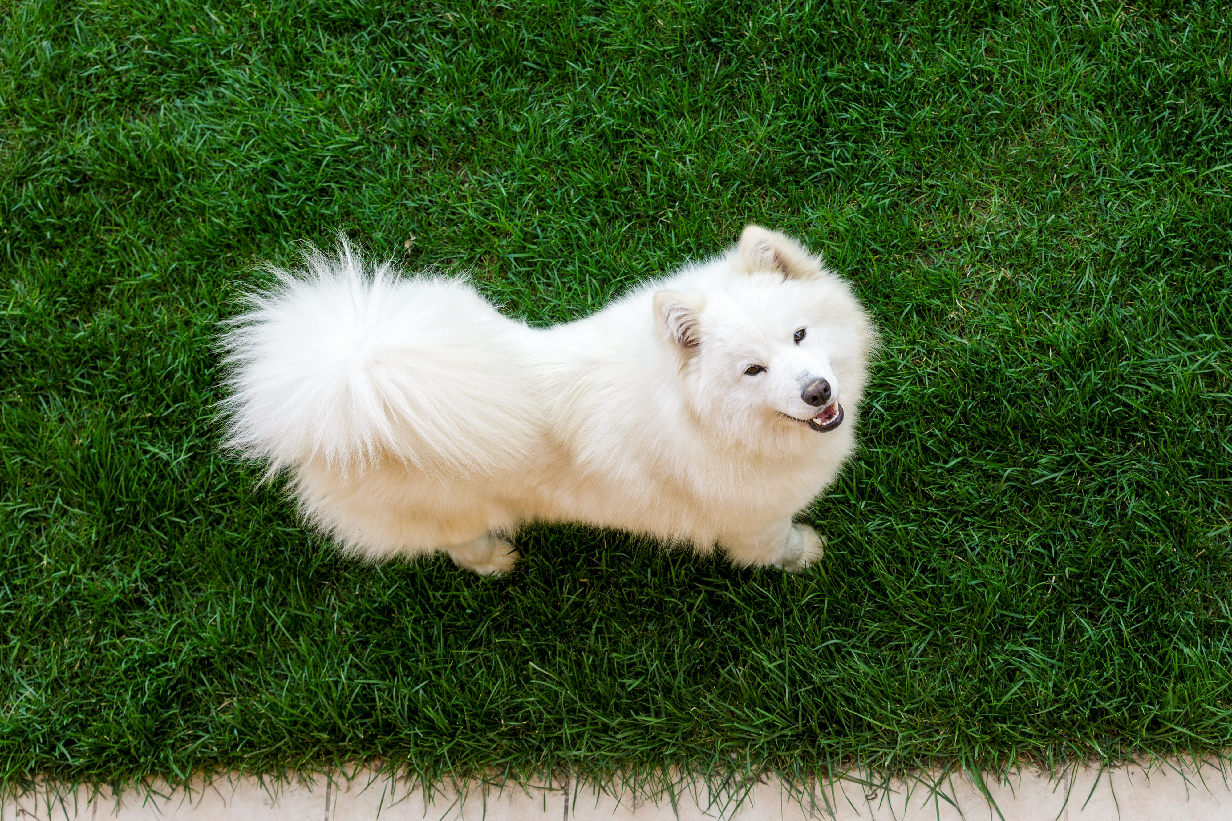 A Samoyed with a beautiful long hypoallergenic coat