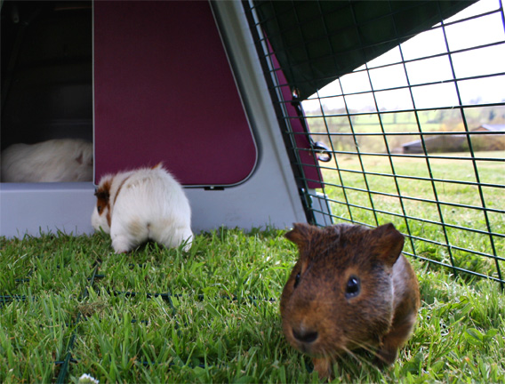 Guinea pigs in the Eglu Go Hutch Enclosure