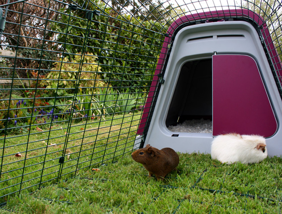 Guinea pigs in the spacious guinea pig enclosure