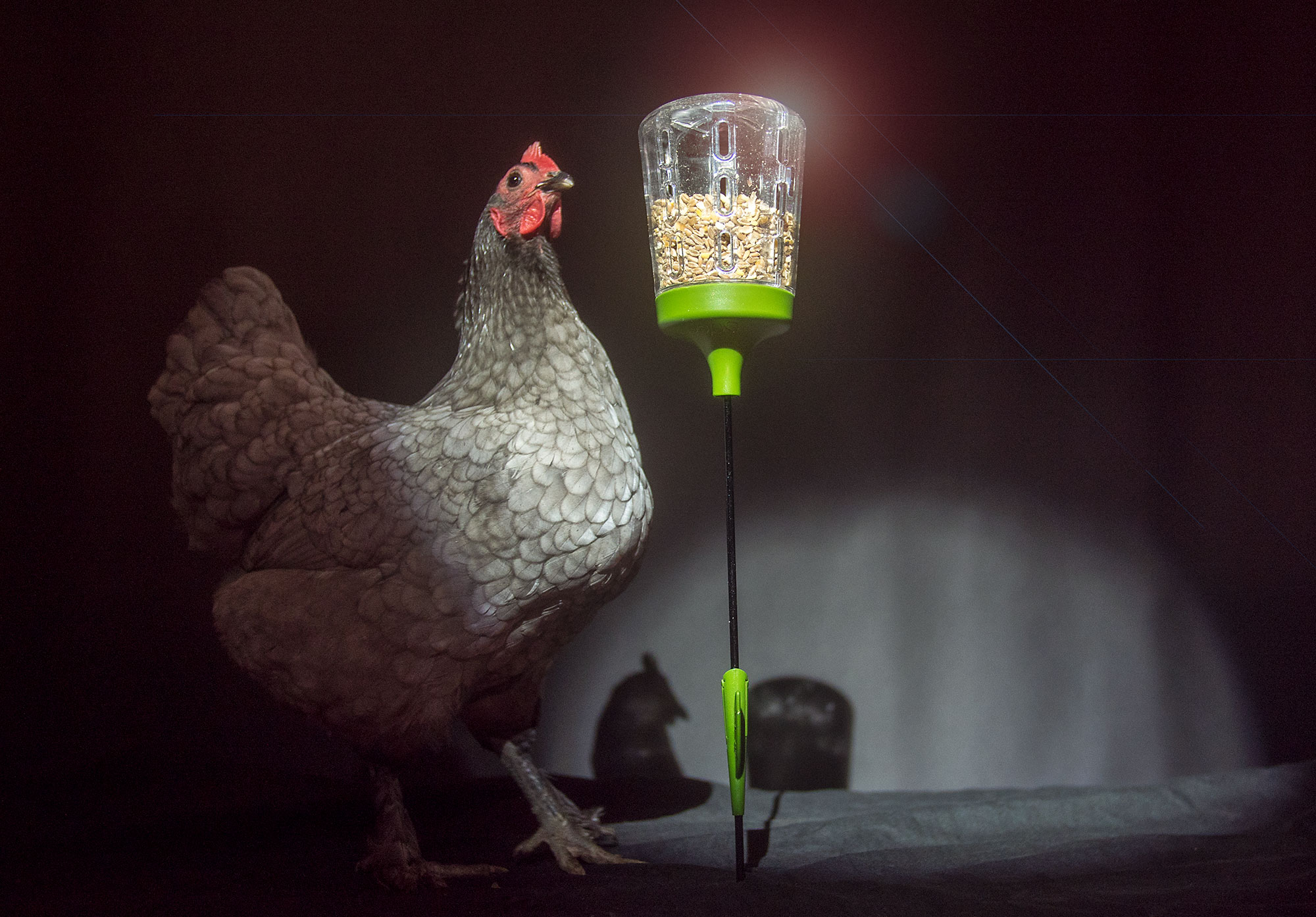 Chicken using an Elvis Peck Toy treat dispenser