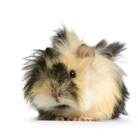 Guinea pig abyssinian