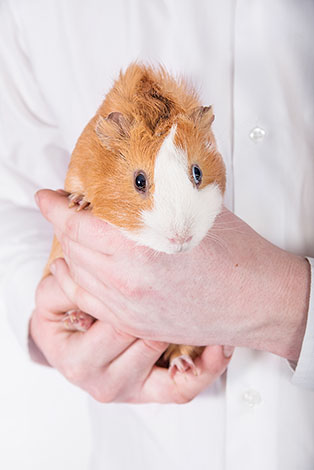 Guinea pig being judged