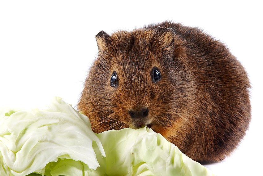 Guinea pig eating cabbage