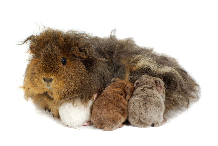 Guinea pig mother and babies