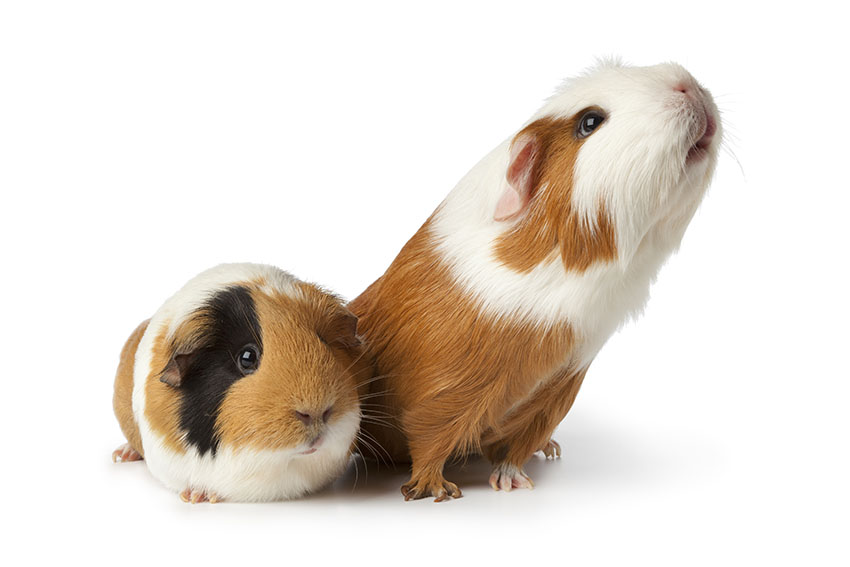 Guinea pigs are great pets