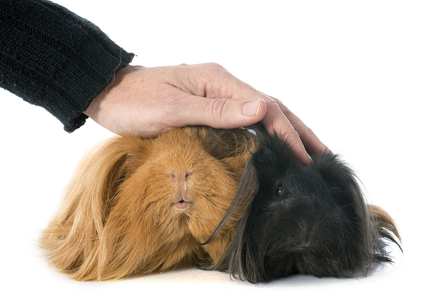 a guinea pig with long hair