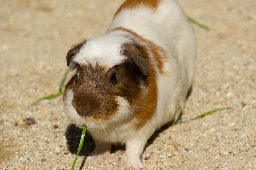Guinea pigs give off allergens