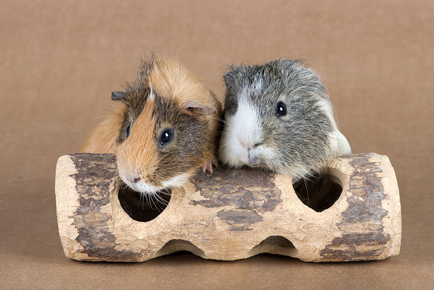 Guinea pigs on log toy