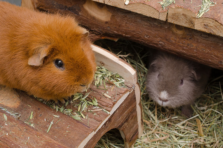Guinea pigs testing out new bedding