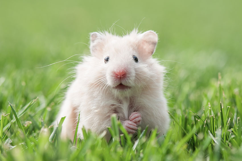 hamster colours