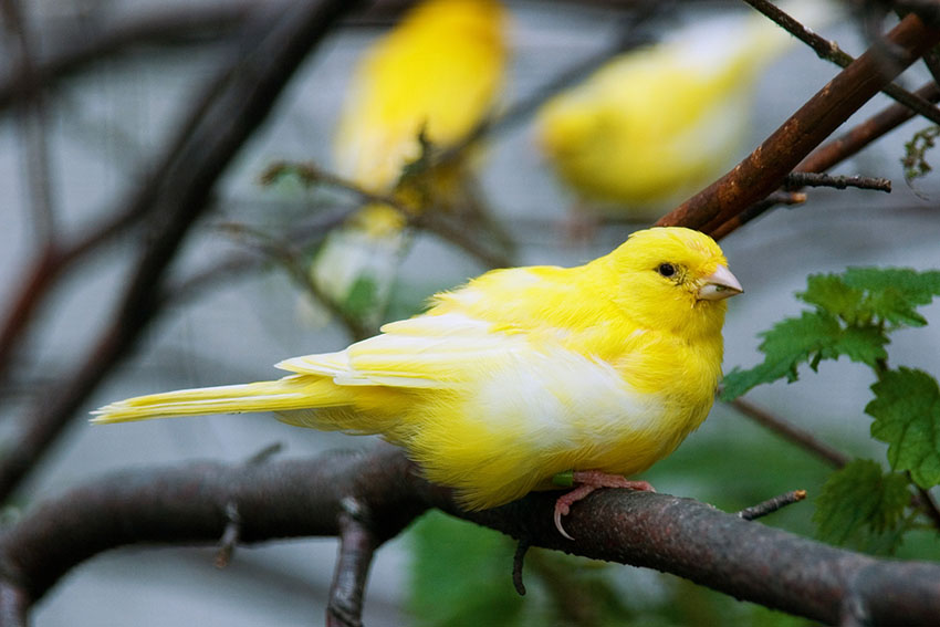 Harz Canary in tree